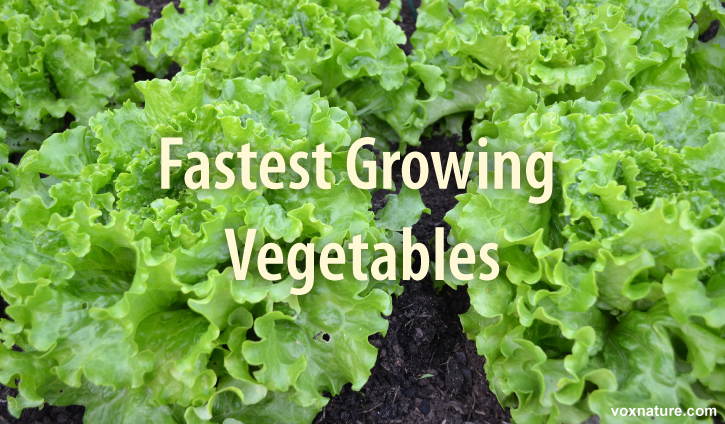 Vegetables That Can Be Harvested In Very Little Time 11 Vegetables That Can Be Harvested In Very Little Time