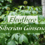 Health Benefits of Eleuthero (Eleutherococcus)