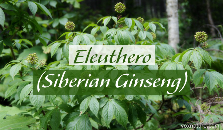 regarded by those in the world of alternative medicine Health Benefits of Eleuthero (Eleutherococcus)