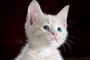 cat kitten white