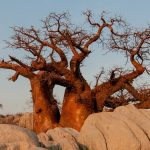 Health and Beauty Benefits of Baobab